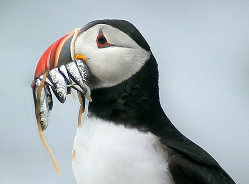 In this file photo, a puffin holds white hake in its beak after landing on Eastern Egg Rock in Muscongus Bay. The puffins can travel up to 50 miles over the Gulf of Maine, looking for small fish to feed their chicks, who nest under large rocks on the shore of Eastern Egg Rock.