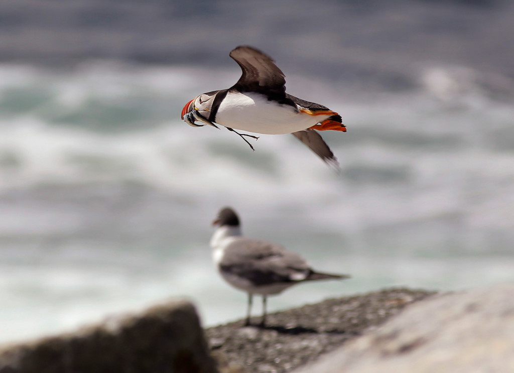 A puffin flies over Eastern Egg Rock in Muscongus Bay while carrying white hake in its beak. During the 'ocean heat wave' of 2012, small fish like white hake, herring and sand lance the puffins catch to feed to their chicks fled for deeper and cooler water.