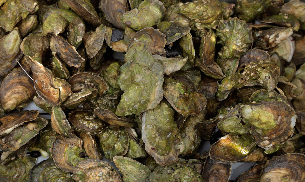 Oysters from Nonesuch Oyster ready to be prepped for market.