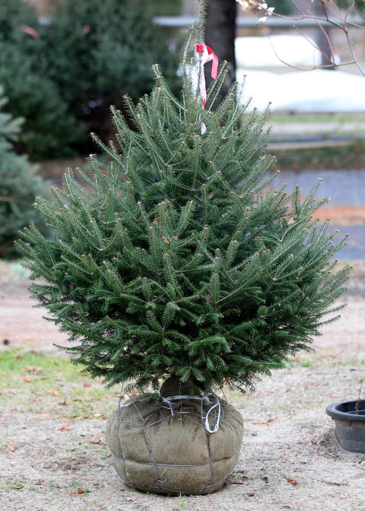 Christmas Tree Scarborough Maine