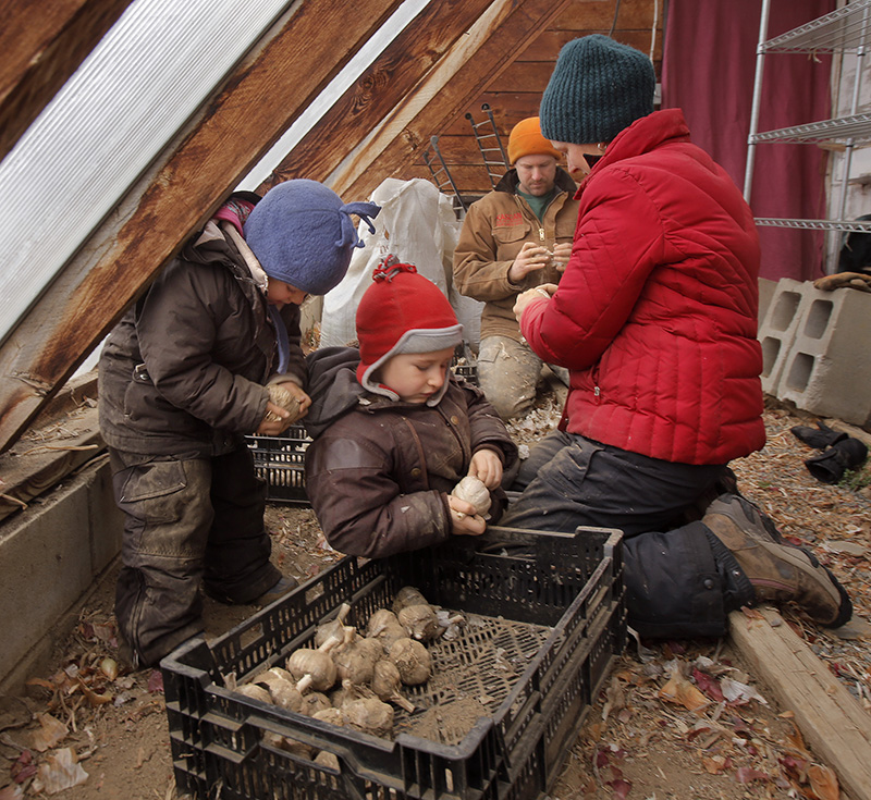 Amanda Provencher, right, and Paul Schultz peel the outer skin off garlic bulbs with their children Mae, 3, right, and Gus, 5, at King Hill Farm.