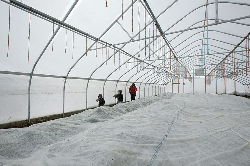 Amanda Provencher and her children Gus, 5, and Mae, 3, carry kale out of their winter greenhouse.