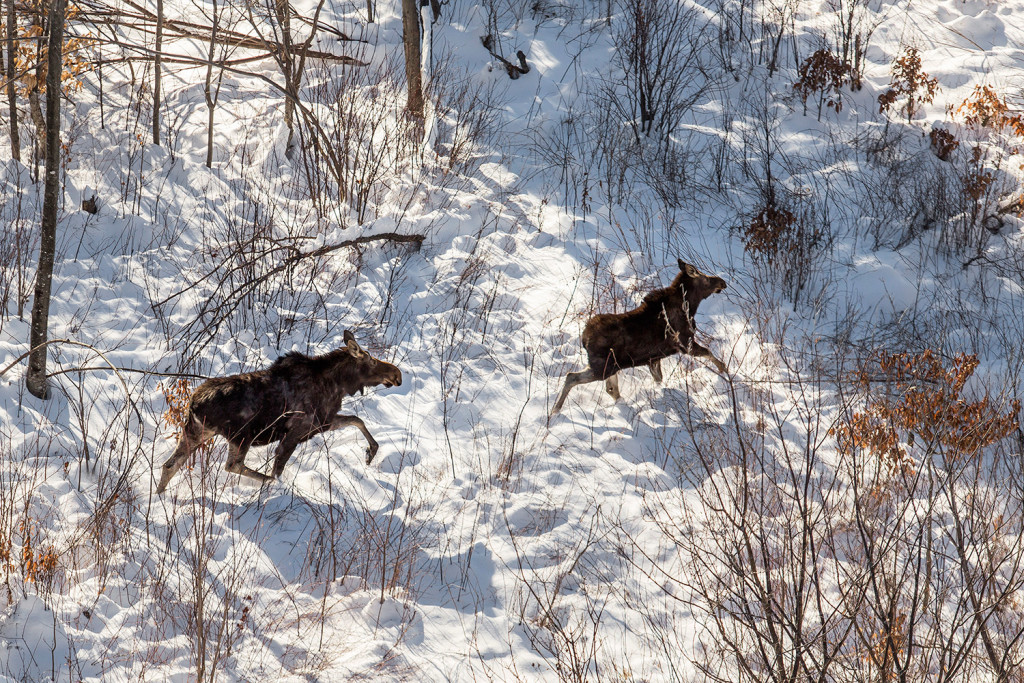 A cow moose and its calf, seen in this aerial photograph, run through the woods north of Moosehead Lake. The moose were seen on a moose collaring expedition with moose biologist Lee Kanter.