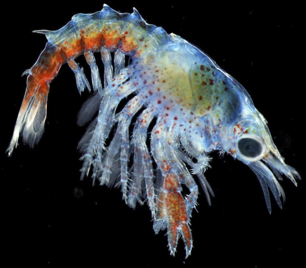 Jesica Waller took this photo of a three-week-old lobster larva with a camera mounted on a dissecting microscope. Waller, a marine sciences student at the University of Maine, won a contest with the photo, which will be published in Popular Science magazine.