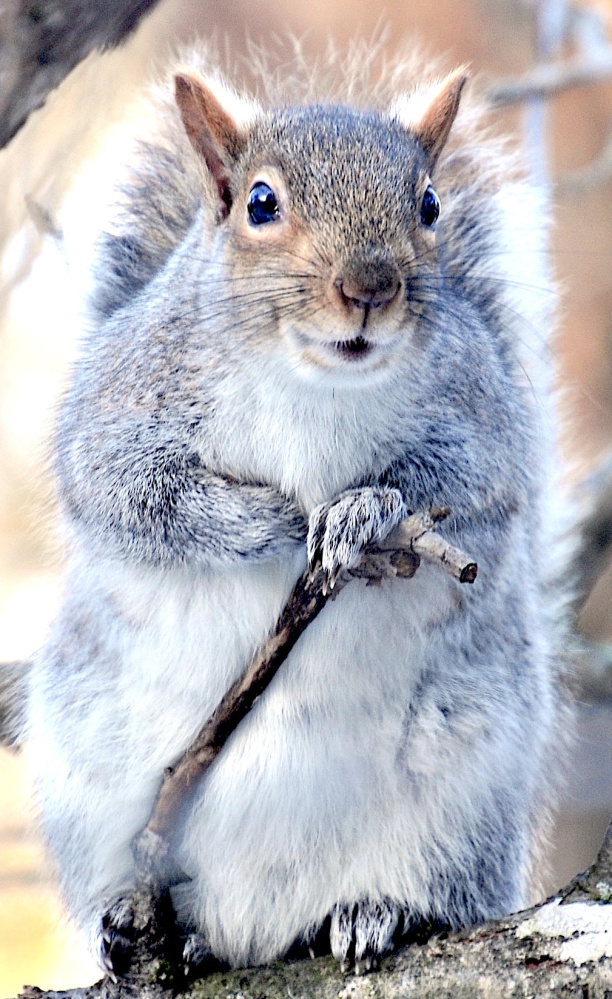 """The Bartlett family in Casco dubs this critter Gandalf the Grey Squirrel, and indeed it bears a resemblance to the benevolent, cane-carrying wizard in """"The Lord of the Rings."""" Just don't try to get into the attic, Gandalf!"""