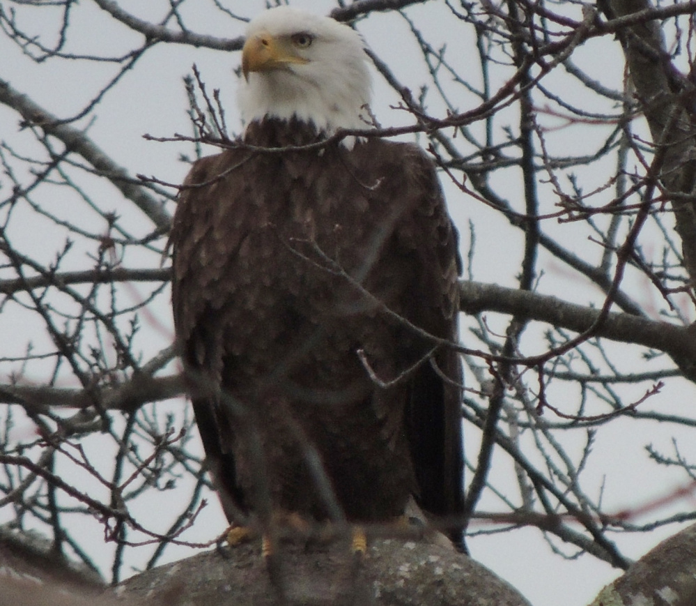Inconspicuous to anything scampering on the Ewing Narrows fields below, the bald eagle's patience is certain to be rewarded. By Carol Fetters of Harpswell.