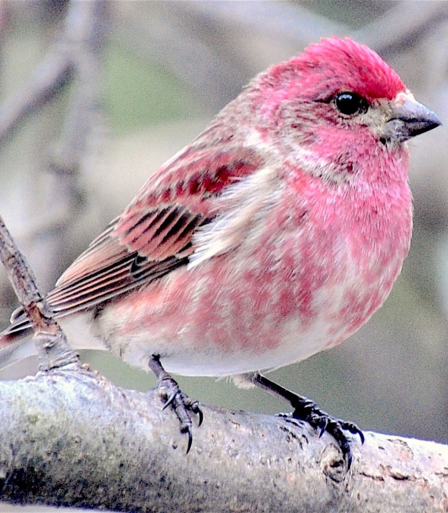 The state bird of New Hampshire, the purple finch – which actually looks hot pink – is also a frequent flier and welcomed guest at the feeders in Erik Bartlett's yard in Casco.