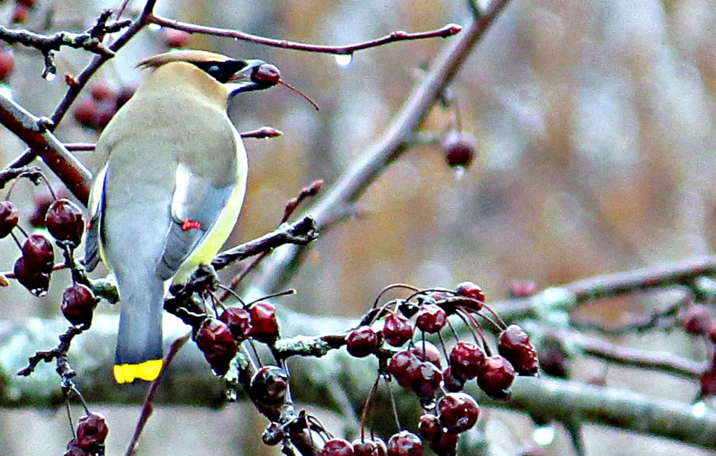 Sometimes a cedar waxwing will eat overripe fruit, but this early in the season, it's not a concern in Joy Page's yard in Sanford.