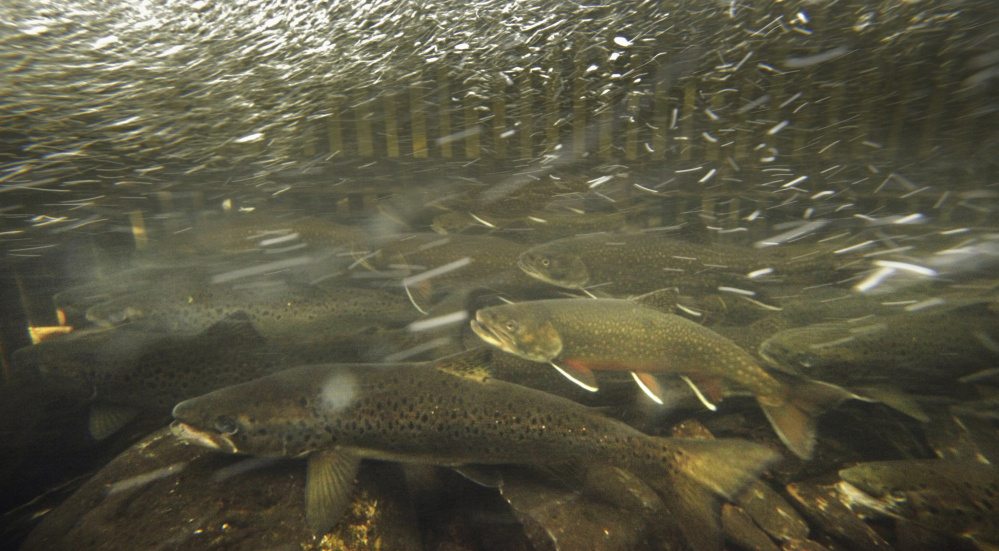 Brook trout make maine world class fishing destination for Maine state fish