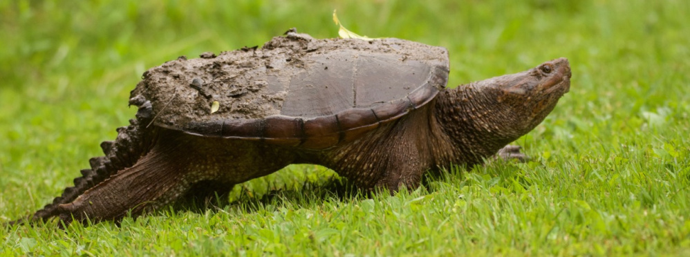 A turtle plods its way through Evergreen Cemetery in Portland, giving Peter Brokofsky of Portland ample time to snap this shot.