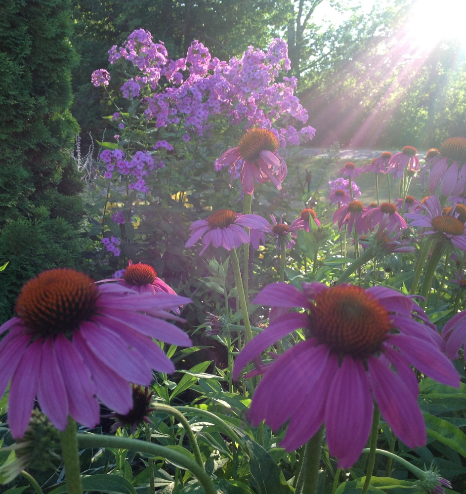 These coneflowers and lilacs looked especially vivid just before sunset in this photo submitted by Lisa Bean of Saco.