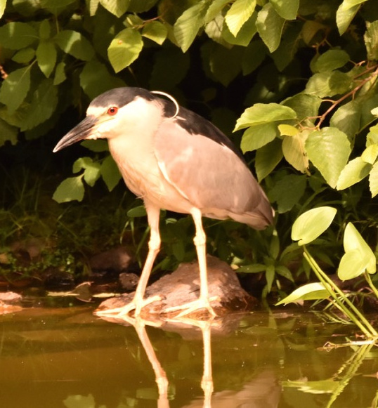 Peter Brokofsky of Portland spotted this black-crowned night heron in Portland's Evergreen Cemetery.