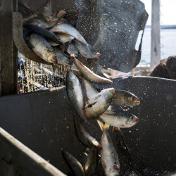 Herring finally started to run earlier this month, ending a bait shortage that hamstrung lobstermen through the summer. Alternative bait, such as the pogeys being unloaded at Portland's Coastal Bait, above, were used as a substitute. Overall, lobstermen expect they paid about 15 percent more for bait this season compared with last.