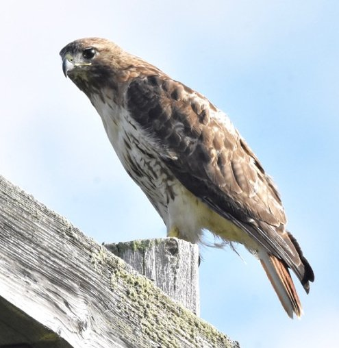 There must be something below that this red-tailed hawk will soon swoop upon as it looks over  the Fore River from atop a pole while Peter  Brokofsky of Portland focuses.