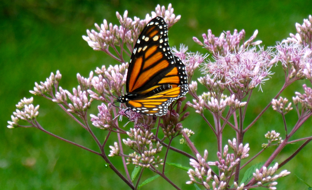 In need of nectar for its autumn migration south, a monarch butterfly enjoys a Joe-Pye weed breakfast undisturbed by Bill Andrews of Wells.