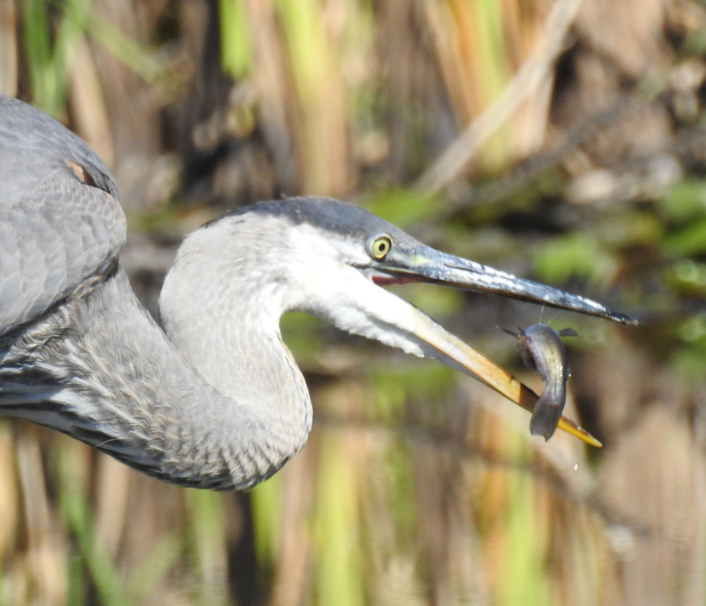 It's lunch time for this great blue heron at Wandby Beach in Kennebunkport, as Kristen Holmberg of Kennebunk snapped this well-timed photo.