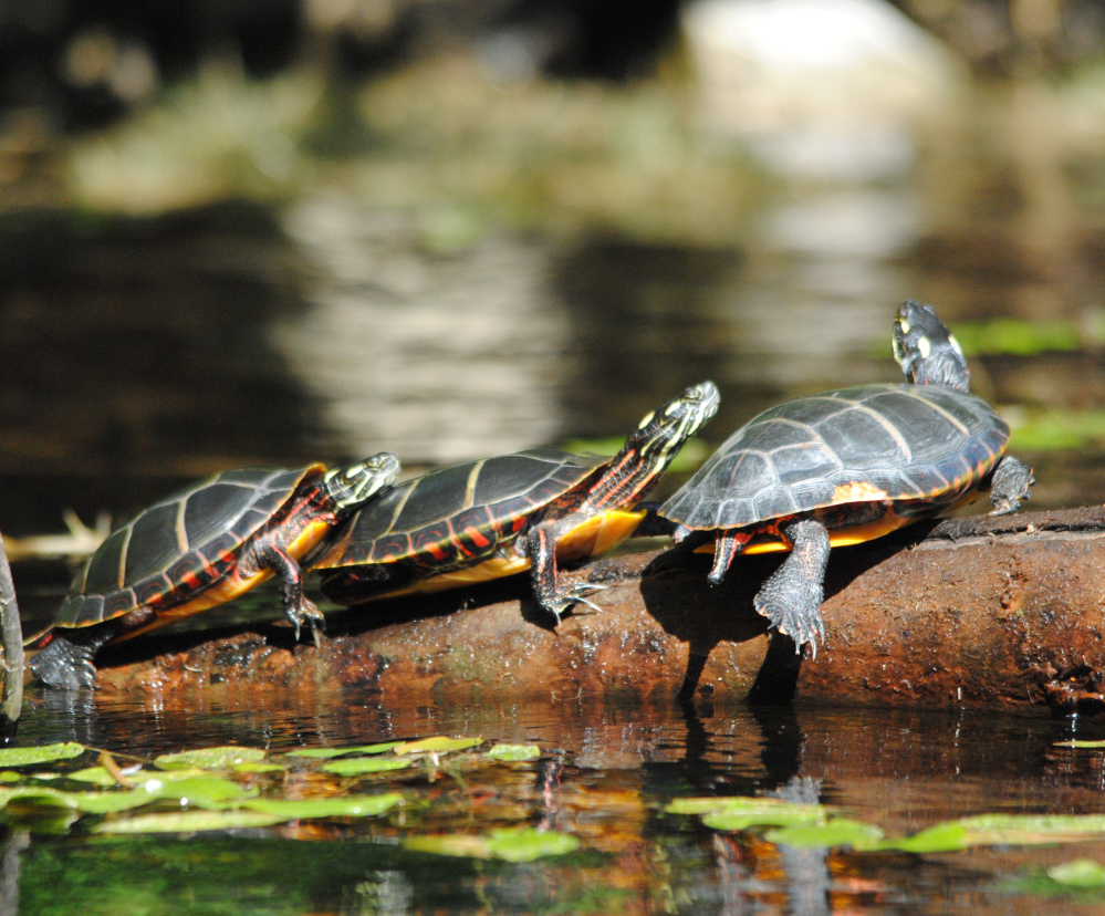 These painted turtles had plenty of company at Pettingill Pond in Windham, according to photographer Dave Ennis, who counted 12 turtles sunning themselves on three logs.