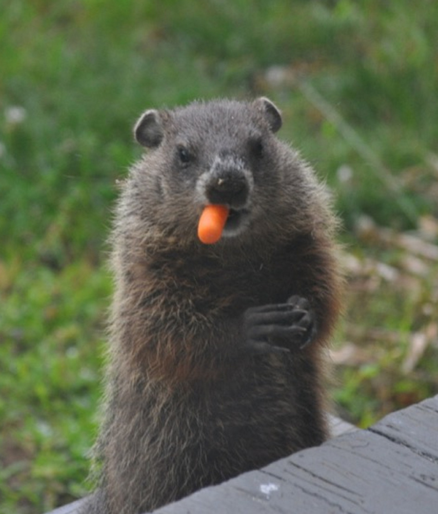 Patrick Morin of Brunswick says this woodchuck has made himself at home under his family's porch, and he sometimes peeks through the front windows. He also eagerly poses for photos when offered a treat.
