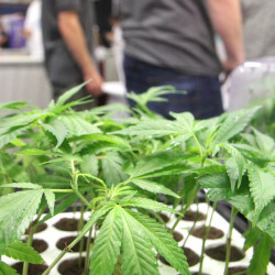 New England Alternative Care exhibits marijuana plants at the Home Grown Maine medical marijuana trade show at the Augusta Civic Center on Sunday. Organizers expected 3,000 to 4,000 people to attend the two-day event.