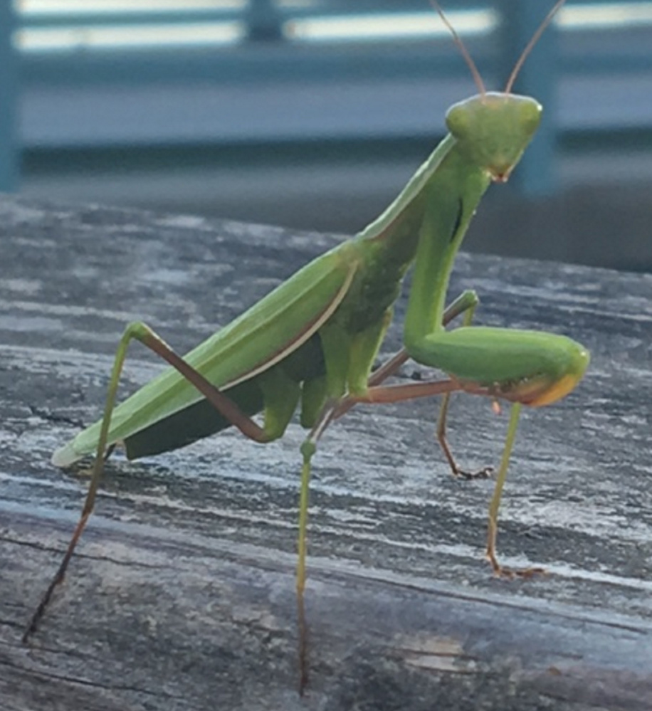 Pam Nolan of East Boothbay encountered this praying mantis in Trevett on a beautiful August evening.