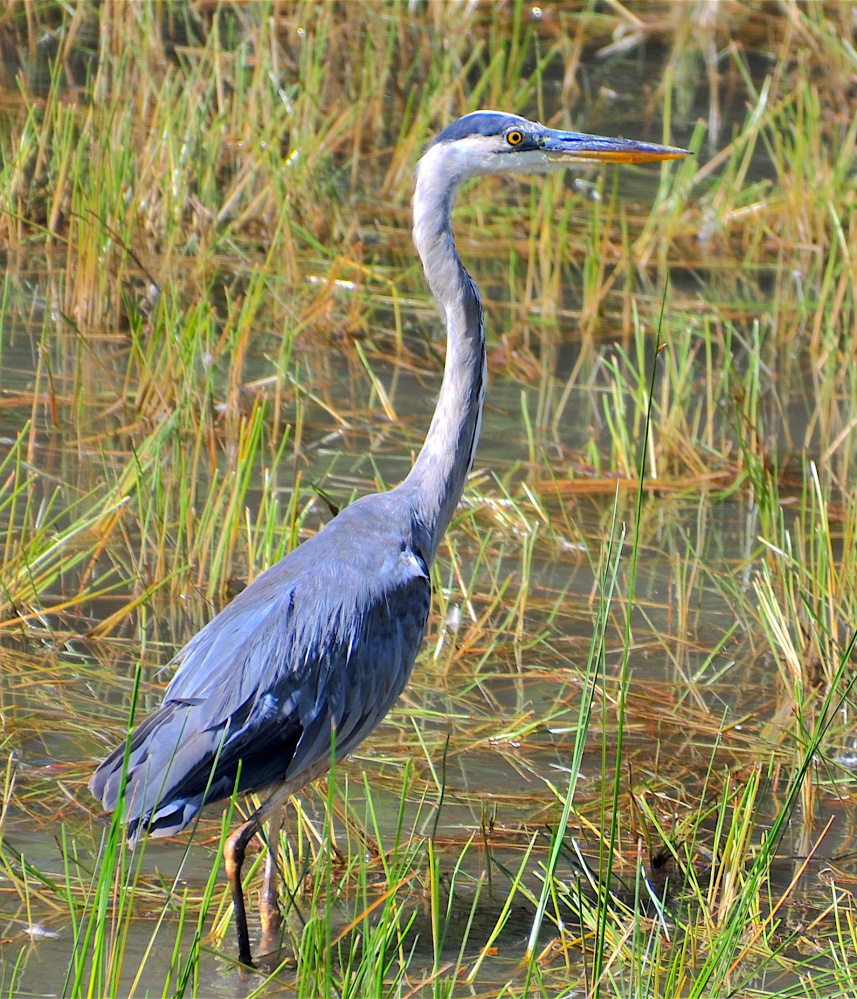 This blue heron was fishing in the waters of Panther Run, right next to Veterans Memorial Park in Raymond, said Erik Bartlett of South Casco.