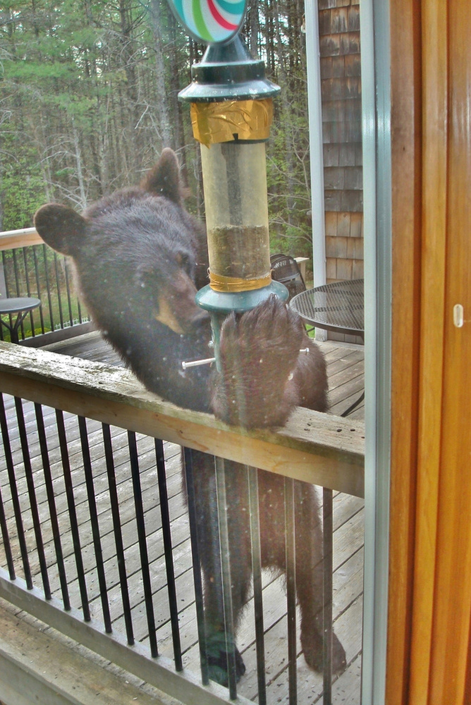 Usually we're told to remove the bird feeders come springtime when the black bears are extra hungry after their long hibernation. But this one must be snacking up before the big nap, to the chagrin of the usual diners on Yvonne Dickson's porch in Buxton.