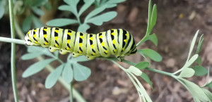 Feasting on Gorham's plants will turn this eastern black swallowtail caterpillar into a butterfly that will make an even nicer photo subject for Renee Dugas.