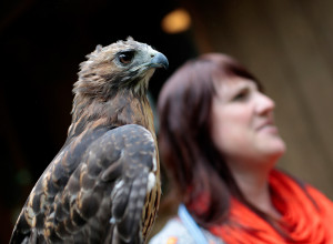 Executive director Kristen Lamb holds Ruby, a red-tailed hawk, at Center for Wildlife in York.