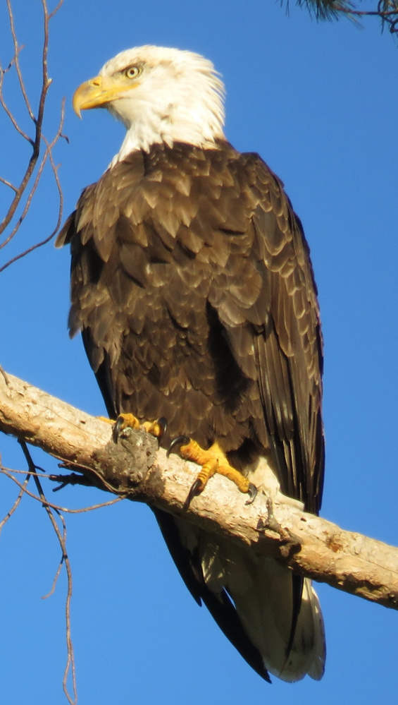 A bald eagle overlooks Lovejoy Pond where Fayette resident Fred Degnan was there to admire the handsome raptor.