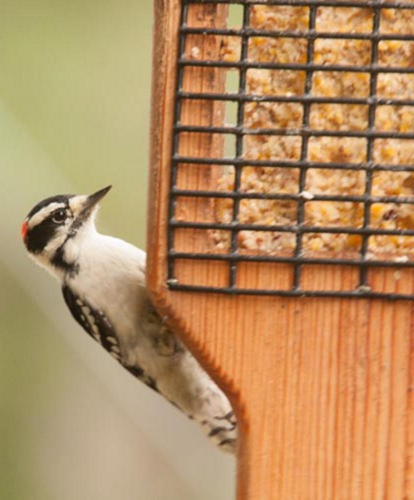 Pecking away at fresh suet at Chris Fleuriel's feeder in Brunswick was easier than banging its beak on wood.