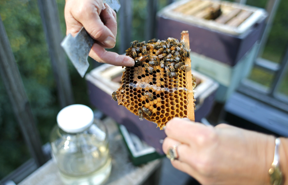 Erin MacGregor-Forbes points out the queen in one of her hives as the bees prepare for a long Maine winter.