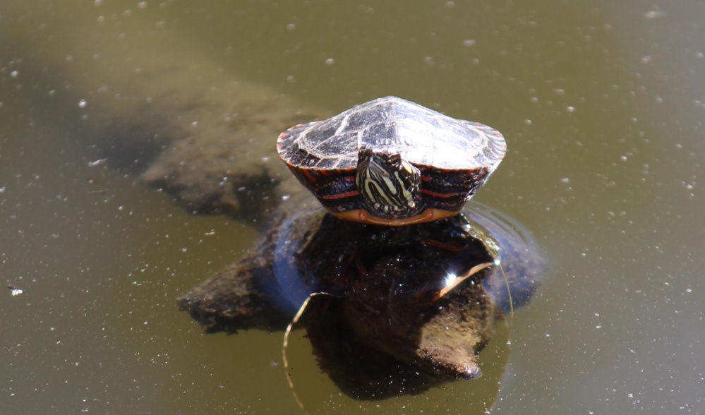 There's just room enough on the tip of the log for one turtle – and a small one at that – to catch some rays on a bright October day at one of the smaller ponds in Evergreen Cemetery, where Nancy Posey of Portland was enjoying a stroll.