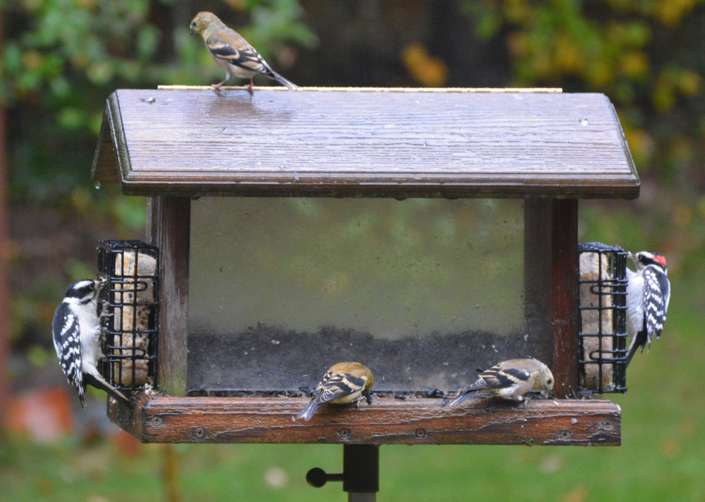 Like bookends, two woodpeckers feast on suet while the goldfinches opt for seeds at the feeder in the Scarborough yard of Russ Burleigh and Joan Steinberg.