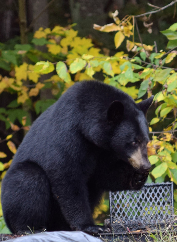 A black bear enjoys licking clean a grill grate behind the Sunrise Shack restaurant in Glen, N.H., just as Scarborough's George Schroth happened to be walking his dog while waiting for a table.