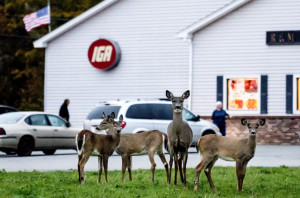 EASTPORT, MAINE - OCTOBER 18: A family of white-tailed deer stand at the edge of the IGA Supermarket parking lot in downtown Eastport Tuesday, October 18, 2016. An overpopulation of deer has them converging throughout the island for food, even in highly populated areas. (Photo by Gabe Souza/Staff Photographer)