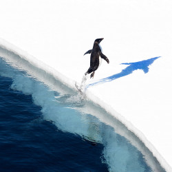 adelie-penguin-jumping-onto-the-ice-ross-sea-antarctica-john-weller
